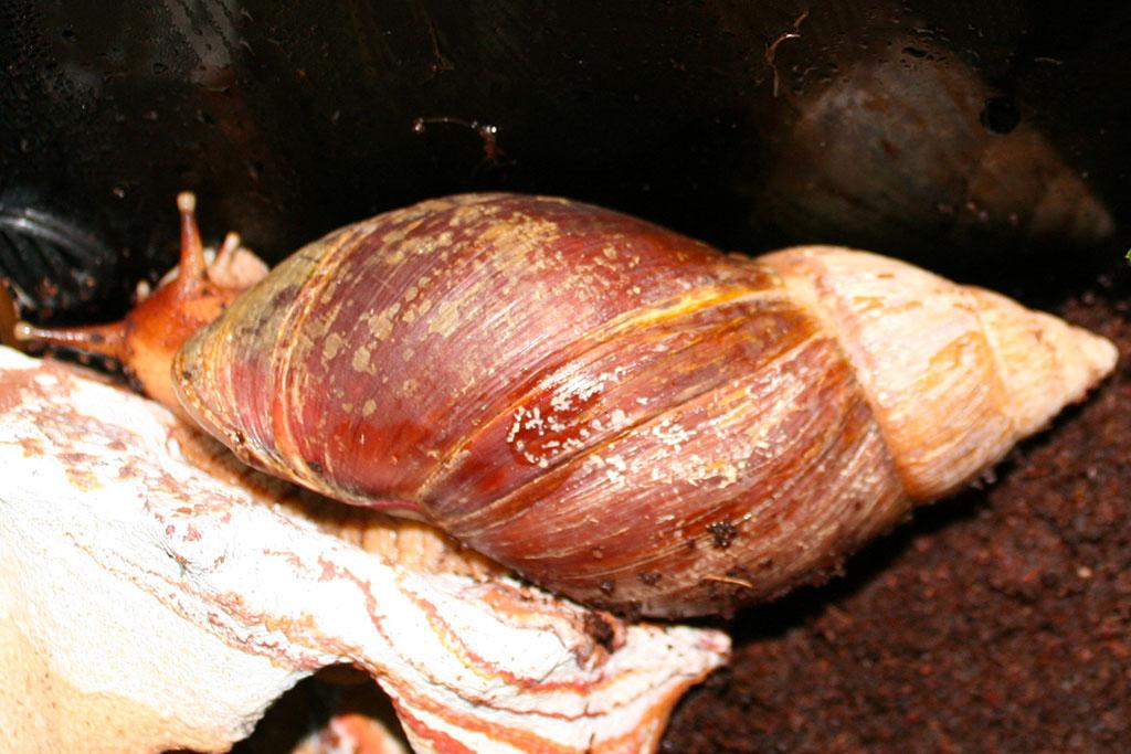Achatina fulica lumaca