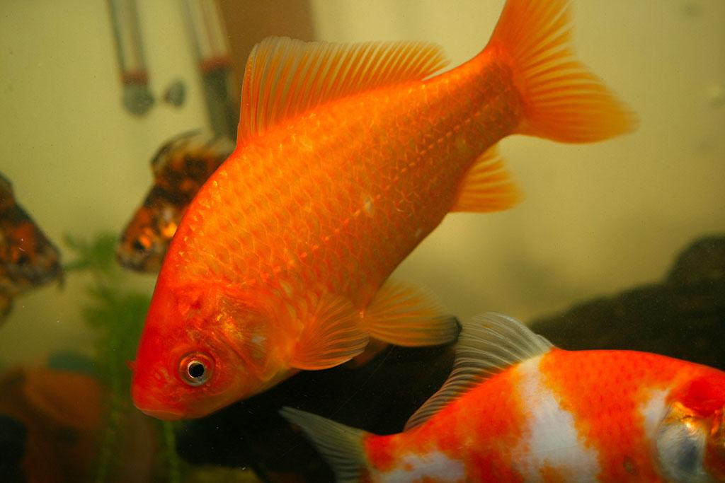 Quanto vive un pesce da laghetto zampotta for Laghetto per pesci